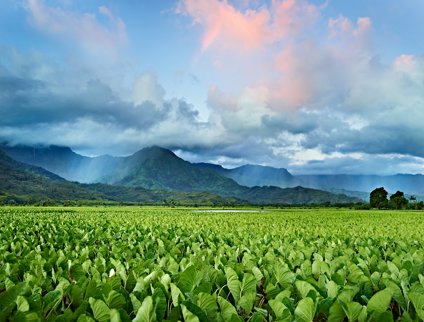 Taro Fields by Peter Adams.